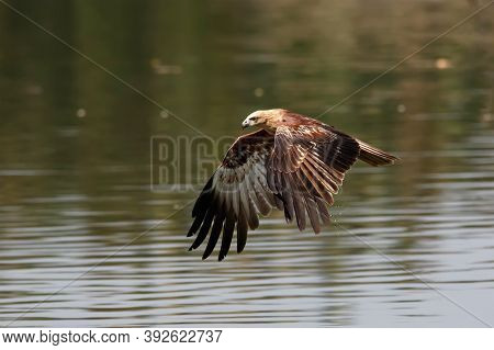 A Medium-sized Raptor With A Rounded Tail Unlike Other Kites. Adults Are Unmistakable With A White H