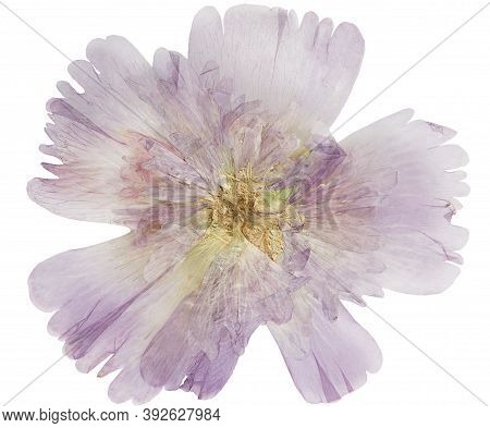 Pressed And Dried Hollyhock Or Alcea, Isolated On White Background. For Use In Scrapbooking, Florist