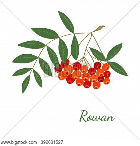 Hand Drawn Rowan Branch In Vintage Style. Isolated Vector Rowanberry. Autumn Mountain Ash With Leave