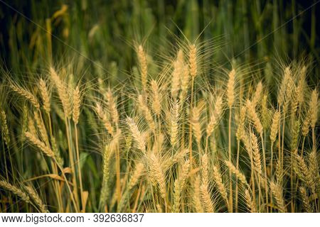 Beautiful Golden And Green Wheat Field For Background.