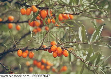 Many Sea-buckthorn Berries Growing On A Tree Branch In Autumn Nature