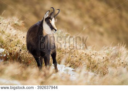 Tatra Chamois Standing On Mountain Meadow In Winter Nature