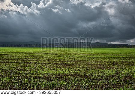 Field For Agriculture, Young Shoots Of Winter Wheat Or Grain Crops Began To Germinate From The Soil.