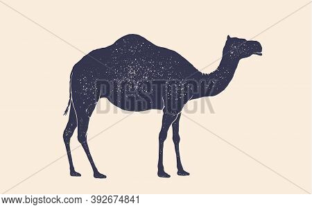 Camel, Dromedary. Vintage Retro Print, Black White Camel Drawing, Grunge Old School Style. Isolated