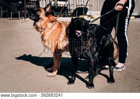German Shepherd Kennel, High-quality Breeding Of Thoroughbred Working Dogs. Two Charming Female Germ