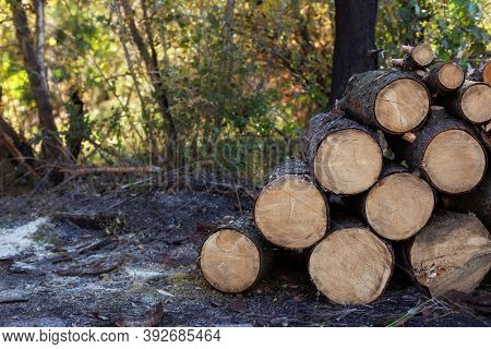 Wooden Logs With Forest On Background. Trunks Of Trees Cut And Stacked In The Foreground. Pile Of Wo