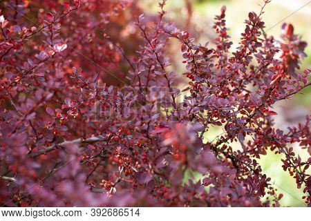 Branch Of Autumn Barberry Bush With Red Leaves And Berries. Barberry  Branch Fresh Ripe Berries Natu