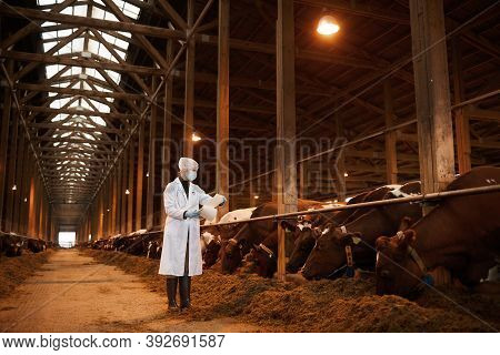 Full Length Portrait Of Young Female Veterinarian Examining Cows At Dairy Farm While Wearing Mask An