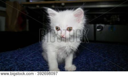 White Cat With Different Eyes. Odd-eyed Kitten. Cat With 2 Different-colored Eyes, Heterocromatic Ey