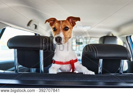 Jack Russell Terrier Dog Looking Out Of Car Seat. Trip With A Dog