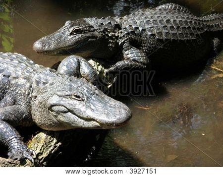 2 Alligators