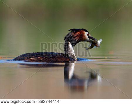 water bird on the lake (podiceps cristatus)