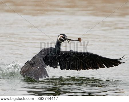cormorants (phalacrocorax carbo) in the water fighting for food