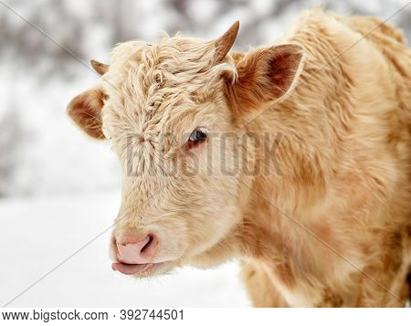 calves outdoor in winter, Transilvania Romania