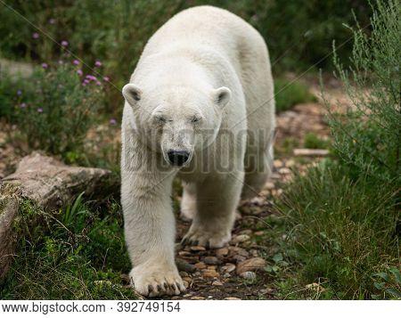 An Adult Polar Bear (ursus Maritimus) Walking In A Zoo