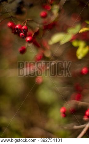 Close-up Of Red Berries On Branches Of Crataegus, Commonly Called Hawthorn At Sunny Autumn Morning.