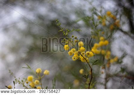 Beautiful Orange Flowers On Indian Gum Arabic Tree Commonly Known As Babul, Thorn Mimosa, Egyptian A