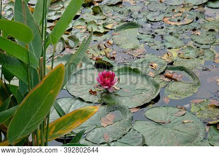 Pink Flowering Water Lily Floats Peacefully On Still Blue Lake Water, Surrounded By Lily Pads. Water