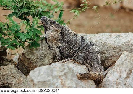 Brown Wild Lizard Crawling On The Stone. Very Beautiful And Large Lizard. Disguise Camouflaged Anima