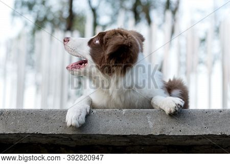 Adorable Border Collie Puppy Sitting On The Ground. Four Months Old Cute Fluffy Puppy In The Park.