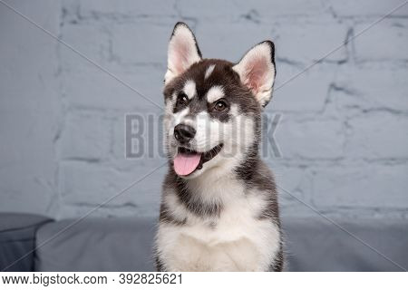 Portrait Of Young Beautiful Funny Siberian Husky Dog Enjoys On Grey Textile Couch At Home. Smiling F