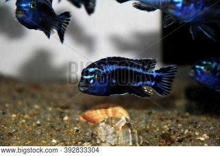 Maingano African Cichlid From Malawi Lake - (melanochromis Cyaneorhabdos)