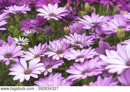 Purple Chamomile. Chamomile Flowers. Daisy. Chamomile Flowers. Purple Yellow Chamomile Chamomile Flo