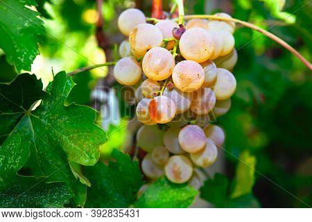 Riesling Sweet Taste Grape Growing At Winery