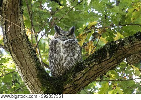 Great Horned Owl At British Columbia Canada; North American