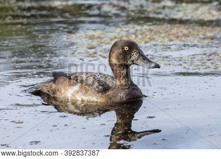 Female Greater Scaup At British Columbia Canada; North American