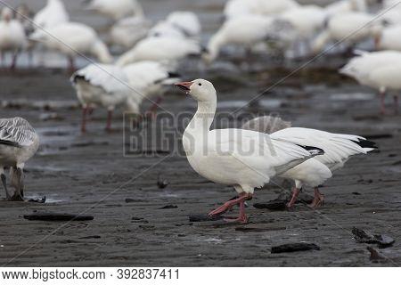 White Snow Goose At British Columbia Canada; North American
