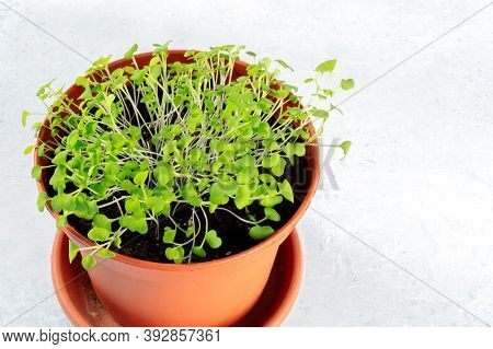 Micro Greens, Grown In A Planter, With A Place For Text, Homegrown Food Concept