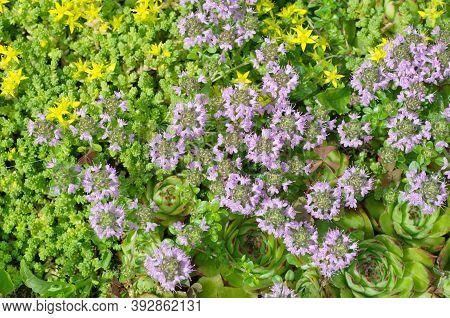 Molodilo (lat. Sempervivum), Ochitok Caustic (lat. Sedum Acre) And Thyme Creeping (lat.thymus Serpyl