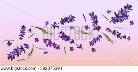Collection Violet Flower Lavender. Banner With Lavender Flowers For Perfumery, Health Products, Wedd