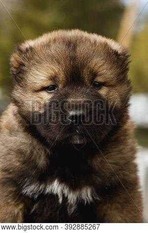 Funny Caucasian Shepherd Dog Looking At Camera