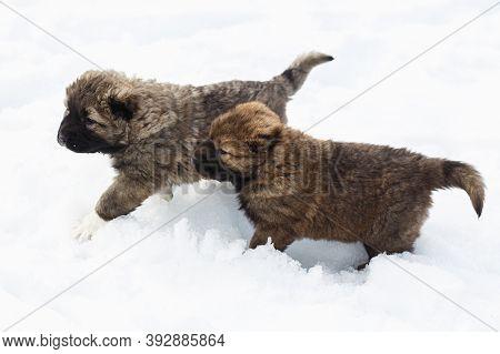 Two Playful Funny Caucasian Shepherd Dogs Having Fun In Snow