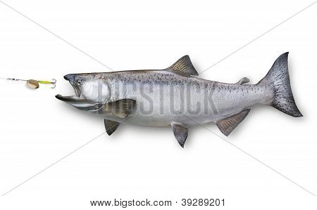 King Or Chinook Salmon Chasing A Lure Isolated On White