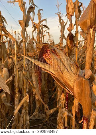 Fully Ripe Corn On The Cob In A Leaf Wrap On A Corn Plant In A Corn Field During Golden Hour. In The