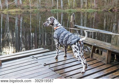 Dalmatian Dog Standing Near Lake . Dog Wears In Warm Clothes. Big Dog Breeds.puppy In The Coat On Th