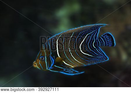 Emperor Angelfish Pomacanthus Imperator, Juvenile Emperor Angelfish Pomacanthus Imperator, Juvenile