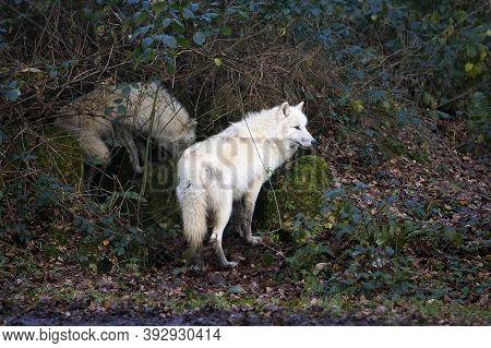 Arctic Wolf Canis Lupus Tundrarum Arctic Wolf Canis Lupus Tundrarum