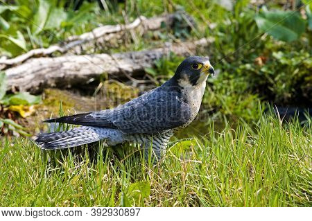 Peregrine Falcon Falco Peregrinus, Adult Standing On Grass, Normandy