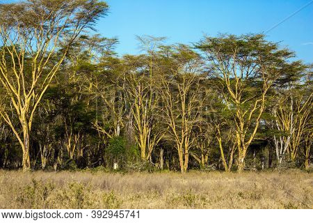 Great Rift Valley. Travel to the Horn of Africa. Kenia. Desert acacia thickets on the shores of Lake Nakuru.