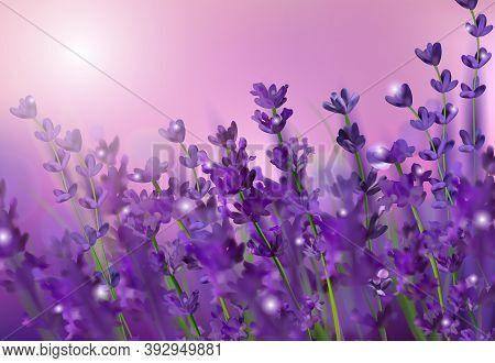 Blooming Violet Lavender Field. Flowers Lavender Glitter Over At Sunset. Violet Fragrant Lavender Fl