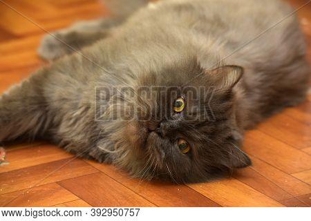 Gray Persian Cat Lies On The Floor