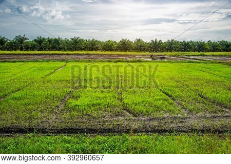 Rice Field, Agriculture, Paddy, With Sunrise Or Sunset And Flare Over The Sun