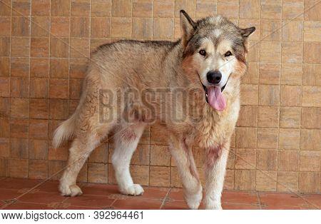An Alaskan Malamute Dog Showing The Tongue