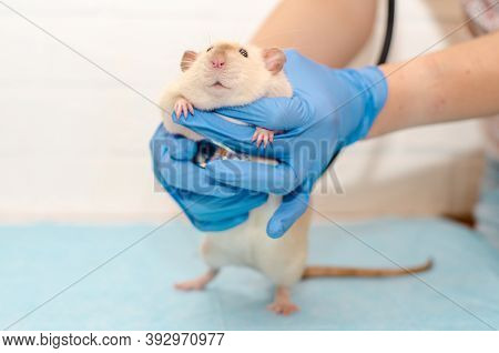 White Rat Dumbo Siam At The Veterinarian Doctors Appointment With Hands In Blue Gloves. Examination