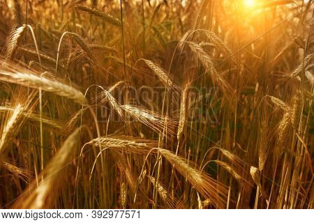 Wheat Field And Grains Of Wheat On A Sunny Day At Sunset. Golden Wheat. Harvesting. Beautiful Nature
