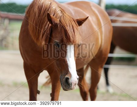 Young Beautiful Horse Posing For Camera. Portrait Of A Purebred Young Horse In Summer Corral. Closeu